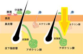 皮膚の断面